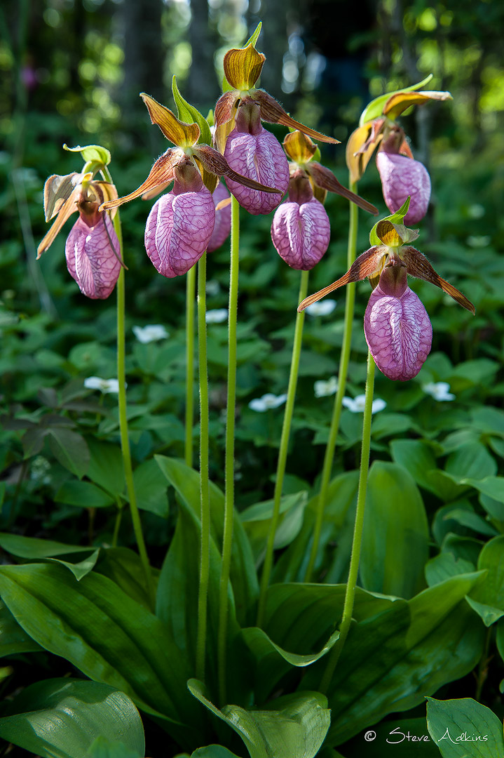 Stemless-Ladyslipper-and-Bunch-Berries