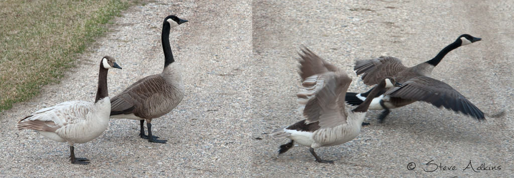 A pair of Canadian Honkers with one showing a very light coloration.
